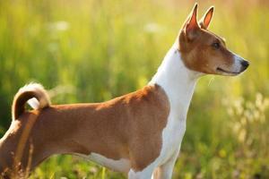 chien rouge debout et regardant quelque part photo
