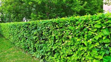 arbustes d'ornement. un mur de buissons verts. photo