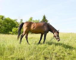 Bel étalon cheval brun sauvage sur la prairie de fleurs d'été photo