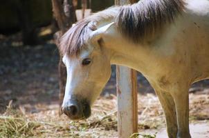 les chevaux blancs d'asie mangent de l'herbe dans le ranch photo