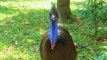 observations d'oiseaux casuari dans la nature photo