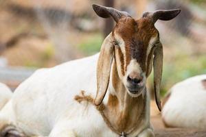 mignon de chèvre reposant sur le rocher photo