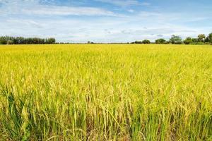 champs de riz avec fond de ciel bleu photo