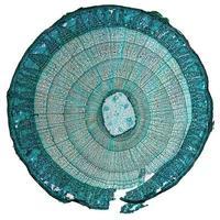 micrographie de tige de tilia photo