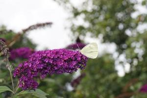 pieris brassicae papillon blanc photo