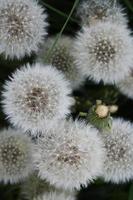 fond blanc moelleux de pissenlits dans l'herbe photo