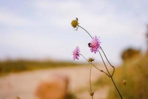 gros plan d'abeille au sommet d'une fleur photo