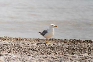mouette marchant sur le rivage photo