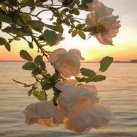 fleurs au coucher du soleil photo