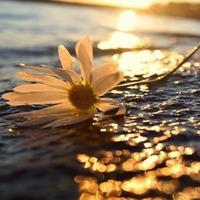 fleur sur l'eau photo