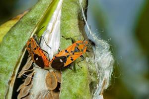 accouplement d'insectes en coton rouge photo