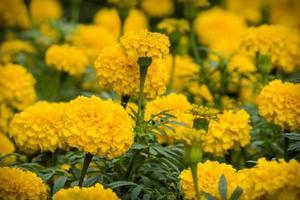 fleurs de souci jaune photo