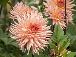 belles fleurs semi cactus dahlia, variété surprise photo