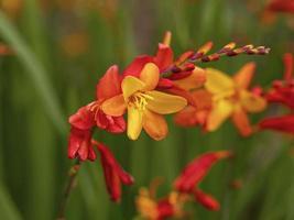Gros plan sur des fleurs de crocosmia orange et jaune colorées photo