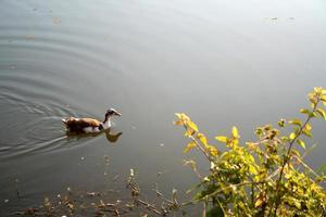 canard planeur dans l'étang photo