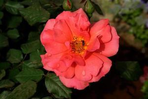 floraison rose brillant photo