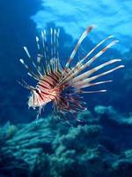 poisson-lion dans la mer rouge photo