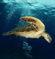 la tortue verte nage près de l'île d'apo, philippines photo