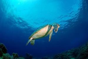 tortue verte près de l'île d'apo, philippines photo