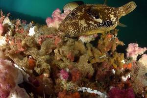 un poisson-globe géant à côté des coraux mous photo