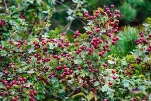 baies rouges de l'arbre crataegus photo