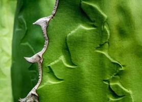 gros plan de plantes succulentes, feuilles fraîches détail d'agave titanota gentry photo
