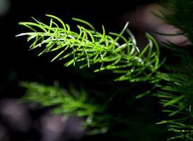 Feuilles fines vertes de fraîcheur de fougère d'asperge sur le fond naturel photo
