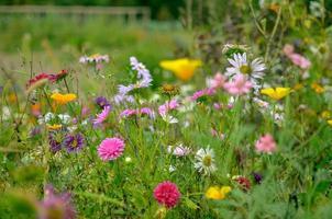 champ de fleur de cosmos, prairie avec aster, camomille, esholtzia photo