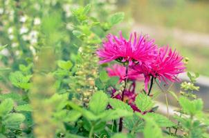 gros plan fleur rose sur jardin en ukraine photo