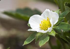 gros plan de fleur de fraise photo