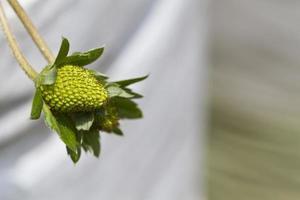 jeune bourgeon de fraise photo