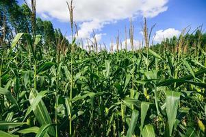 champ de maïs vue de l'agriculture photo