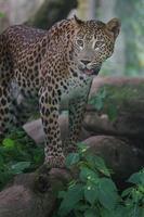 léopard du Sri Lanka photo