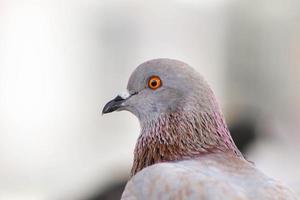gros plan de pigeon, pigeon d'oeil. photo