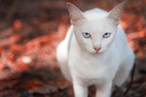 le chat blanc regarde et est assis sur le sol rouge photo