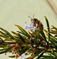 petite abeille sucer un jour d'été photo