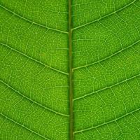 texture des feuilles vertes et fibre des feuilles, fond de feuille verte. photo