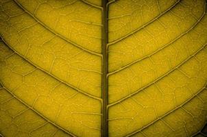 texture des feuilles vertes et fibre des feuilles, papier peint par détail de la feuille verte photo