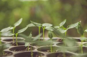 la verdure de la jeune plante et des semis poussent dans le pot. photo