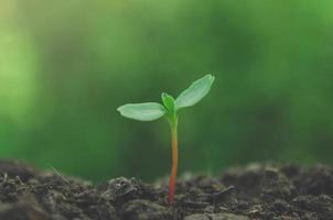 la verdure des jeunes plantes et des semis poussent dans le sol. photo
