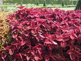 plante d'ortie peinte coleus photo