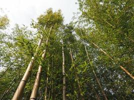fond d'arbre de bambou photo