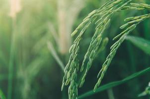 riz paddy et graines de riz dans la ferme, la rizière biologique et l'agriculture. photo