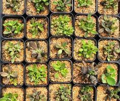 cactus verts en pots photo