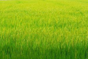 rizière dorée photo