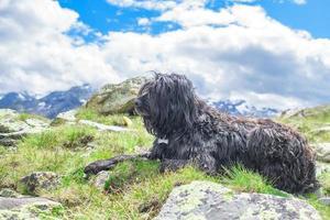 chien de berger de montagne observe le troupeau de vaches photo