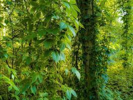 des plantes grimpantes pendent des bouleaux dans la forêt. photo