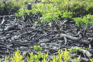 mangroves qui ont été coupées et brûlées photo