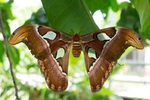 grand papillon de l'atlas, attacus atlas tenant sur les feuilles photo