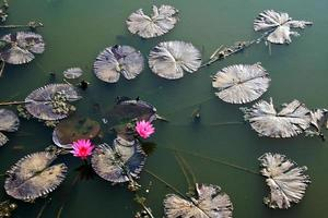 vue de dessus de la plante de lotus photo
